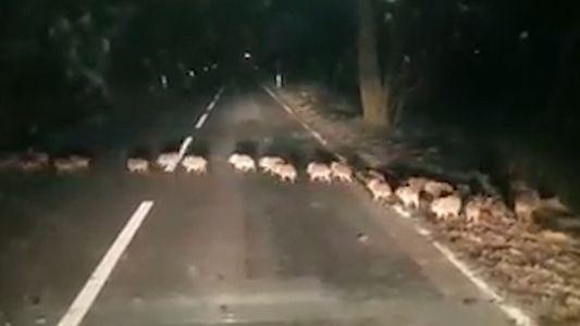 Porque É que Estas Crias de Javali Atravessaram a Estrada?