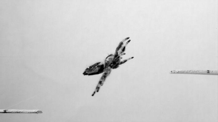 Cientistas Ensinam Aranha A Saltar
