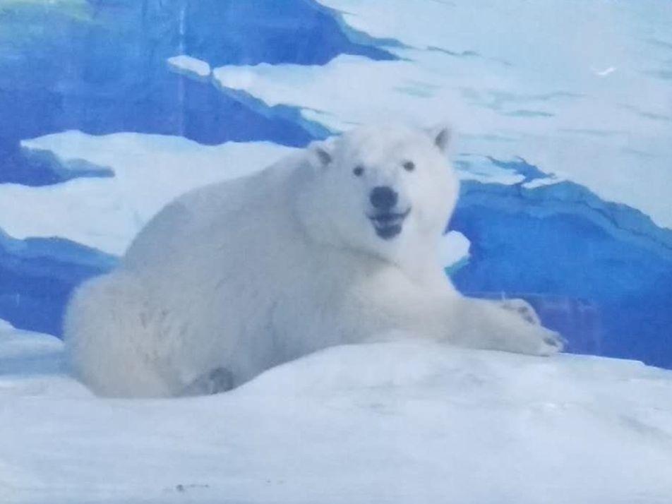 O Urso Polar Mais Triste do Mundo Reencontrou a Progenitora