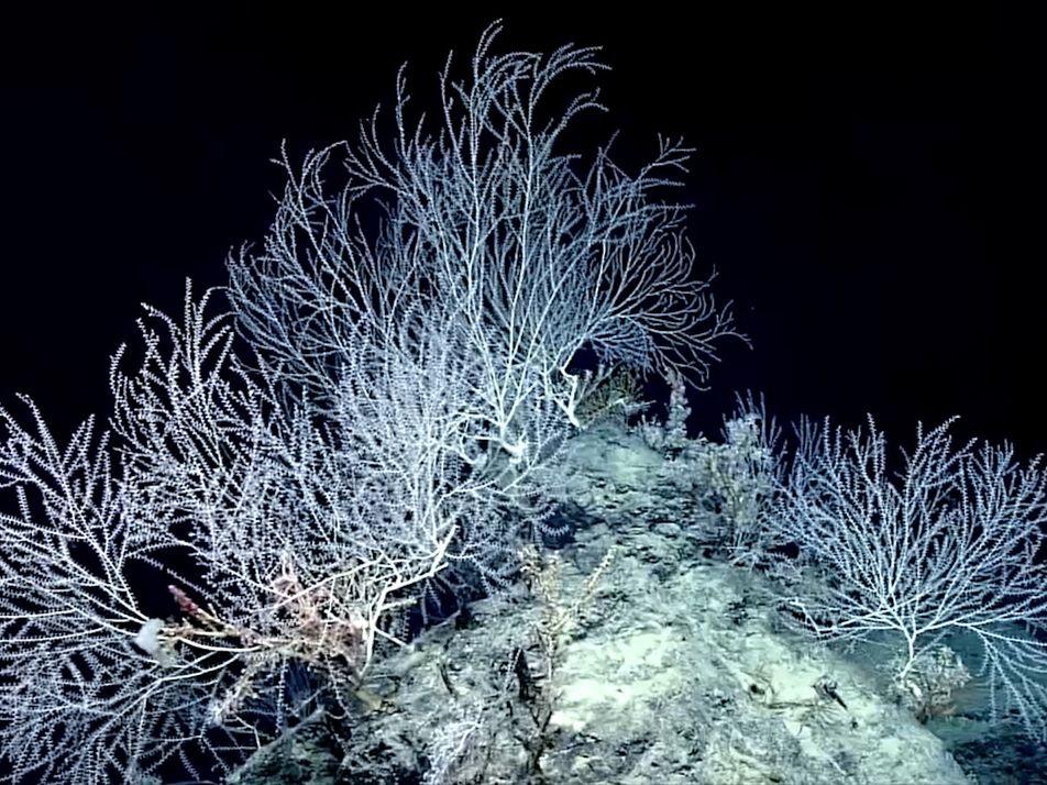 Descoberta Floresta de Coral de Bambu que Pode Ter 1000 Anos