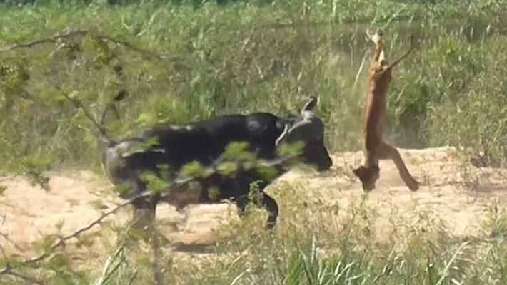 Veja um búfalo Atirar um Filhote de Leão ao Ar
