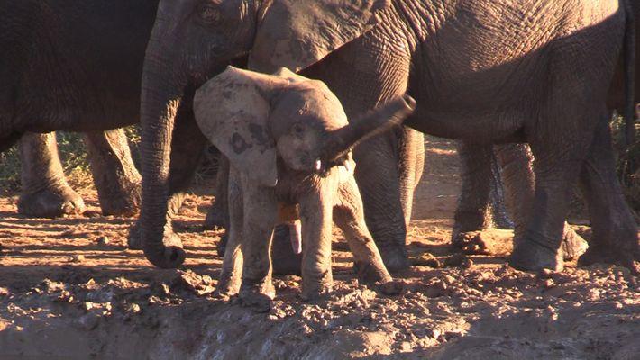 Porque Razão Está Este Elefante Bebé a Balançar a Sua Tromba como um Helicóptero?