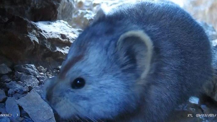 Veja o Vídeo Extremamente Raro de um Mamífero Parecido com um Urso de Peluche