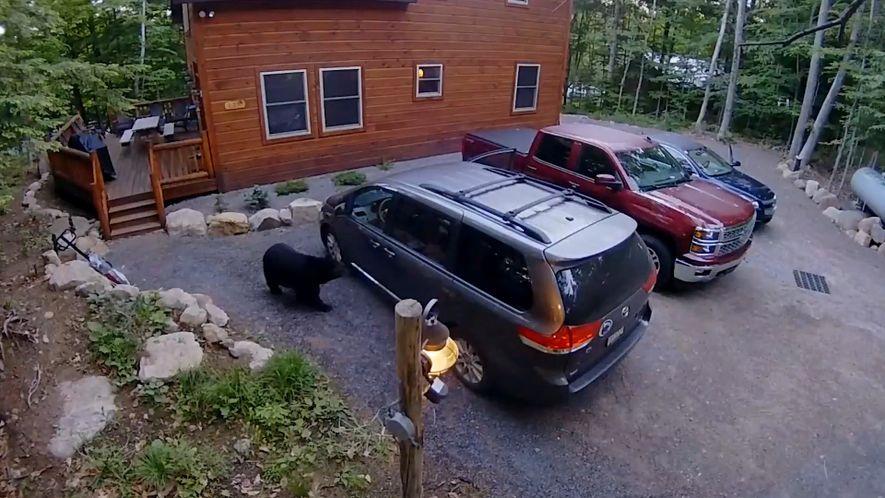Veja uma Mãe Ursa e as Suas Crias e Entrar num Carro