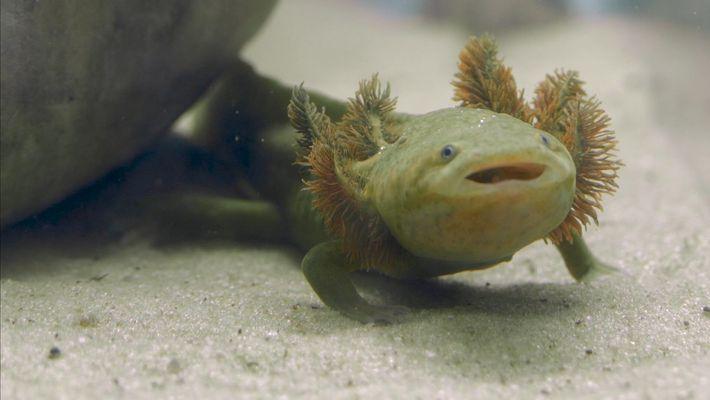 23 Freiras Lutam Pela Sobrevivência De Uma Salamandra Mexicana Ameaçada de Extinção