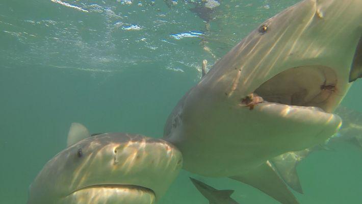 Quer Manter os Tubarões Longe? Experimente estes Ímanes