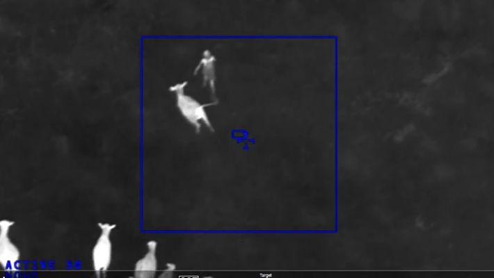 Vacas Vs. Crime - Por Que é Que Estes Bovinos Perseguiram Uma Suspeita Num Campo
