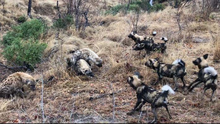 Clã de Hienas Luta Contra Cães Selvagens e Rouba Caça