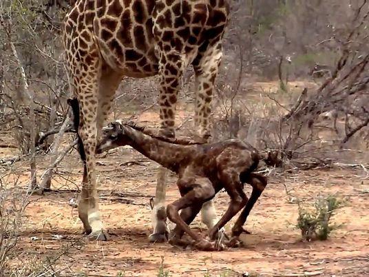 Veja os Primeiros Passos de Uma Girafa Bebé