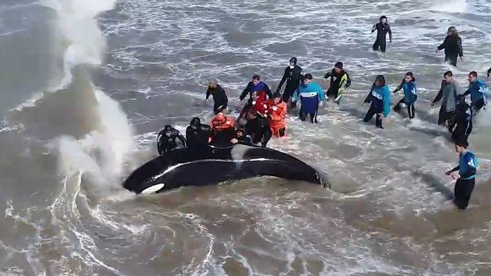 Orca Salva em Resgate Dramático numa Praia
