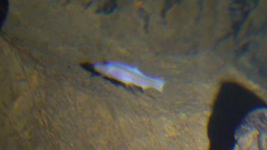 Peixe Cego Encontrado em Caverna Sobrenatural