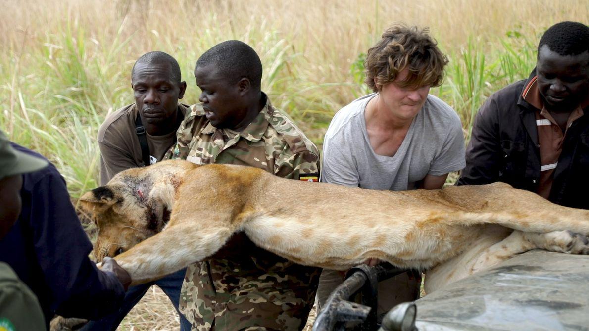 Veja um Leão a Cair de Uma Árvore Durante Um Resgate