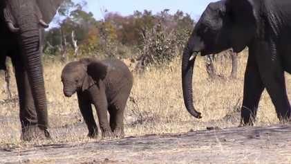 Bebé Elefante Perde a Tromba