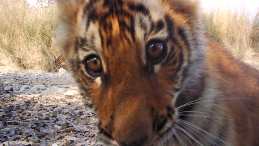 Aumento Promissor da População de Tigres no Nepal
