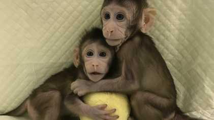 Clones de Macacos Criados em Laboratório. E Agora?