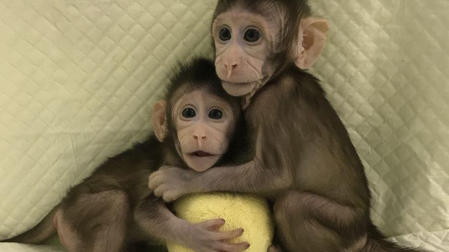 Os Primeiros Clones de Macacos