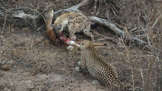 Hiena e Leopardo partilham refeição- antes de serem apanhados de surpresa