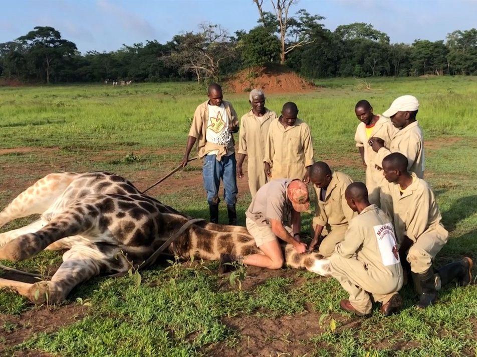 Veja Um Resgate de Girafas Angustiante