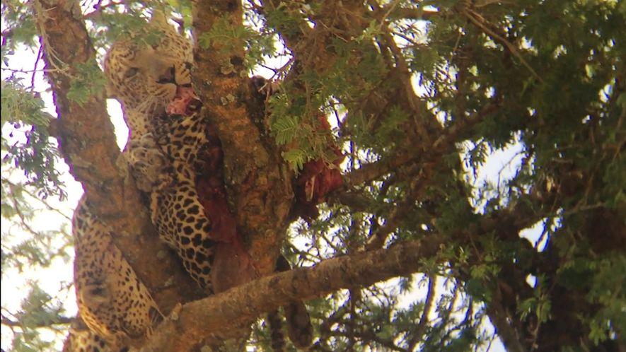 Vídeo Raro: Leopardo Canibaliza Outro Leopardo
