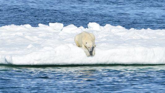 Os Ursos-Polares Estão Realmente a Passar Fome Devido ao Aquecimento Global