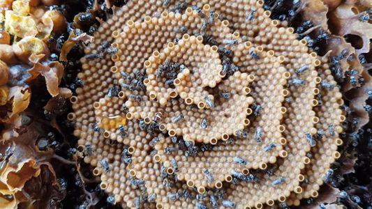 Veja as Colmeias em Espiral Exclusivas da Abelha Sem Ferrão Australiana