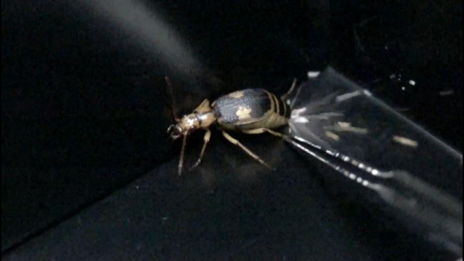 Veja Como Um Besouro-bombardeiro Evita Ser Comido