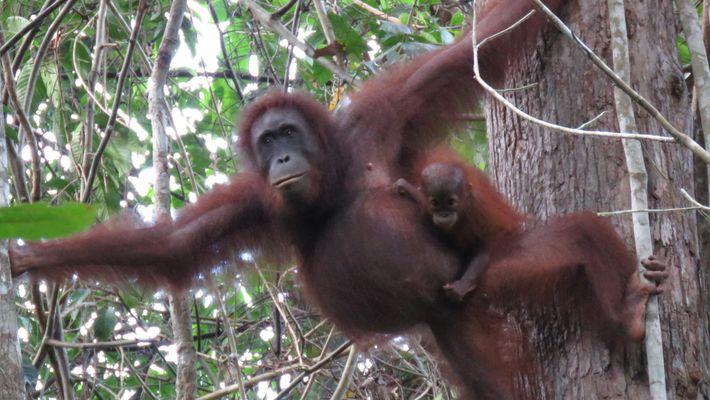 Quase 150.000 Orangotangos Mortos Devido à Desflorestação e Conflito Humano