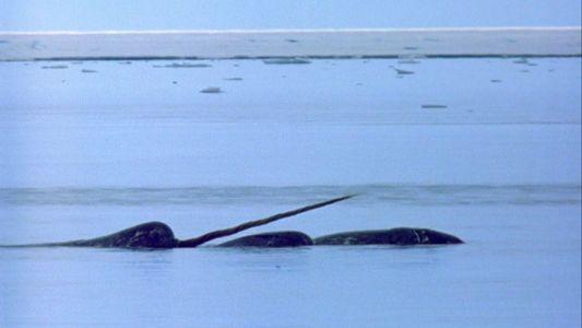 Veja como a presa de 3 metros dos narvais se torna estranha entre as baleias