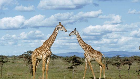 Girafas: Conheça a Mais Recente Espécie em Vias de Extinção