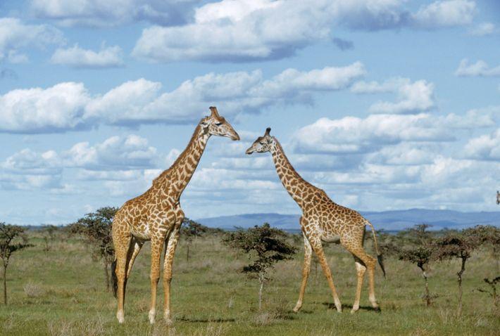Duas girafas elevam-se sobre árvores próximas na pradaria.