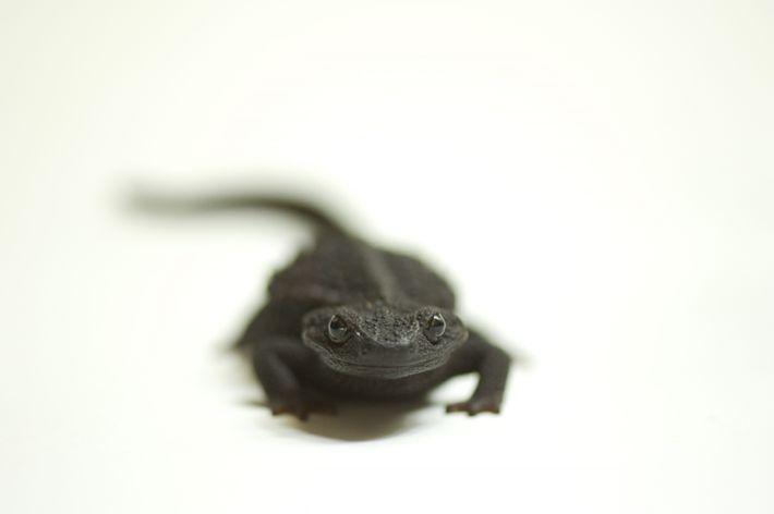 Echinotriton andersoni, uma salamandra toda negra.