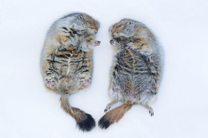 Dois esquilos do Ártico