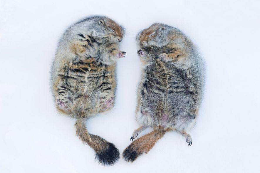 Esquilo do Ártico, Spermophilus Parryii,
