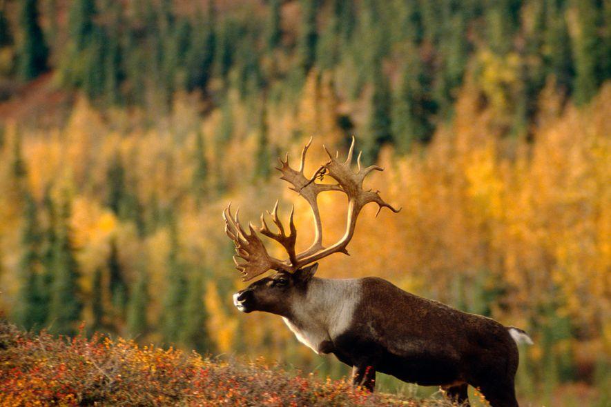 Uma rena no Parque Nacional de Denali, no Alaska. Na Gronelândia, a mudança climática aumentou a ...