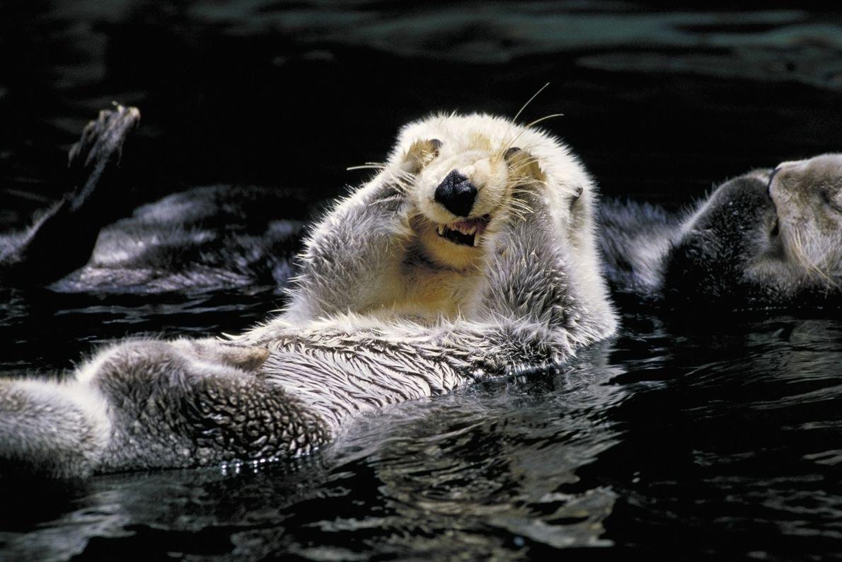 Lontra-marinha