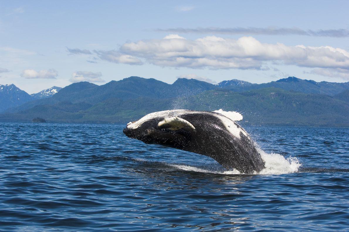 Baleia-jubarte a saltar
