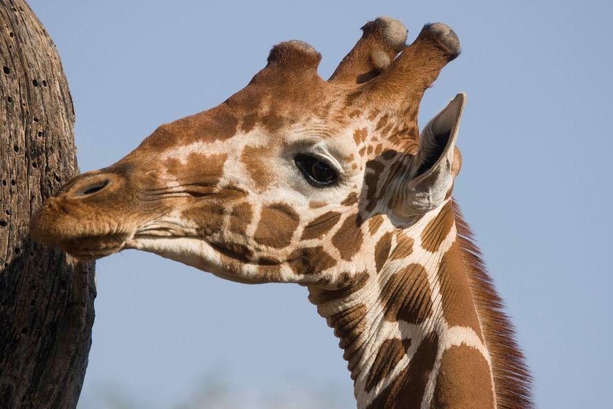 Uma girafa no Parque Nacional Samburu.