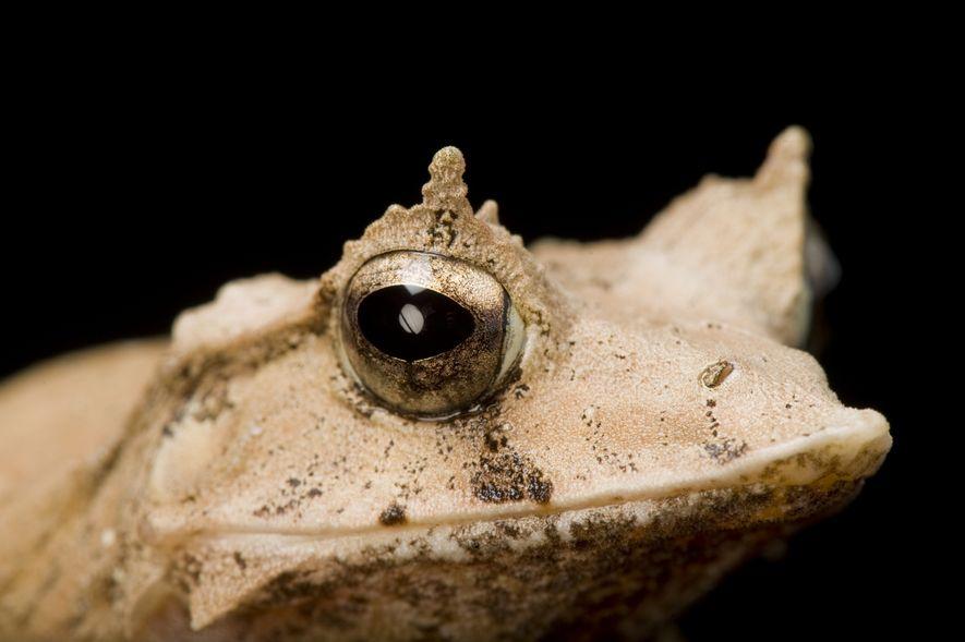 Ceratobatrachus guentheri conhecida por Sapo-Folha das Ilhas Salomão ou Sapo-de-Pestanas.