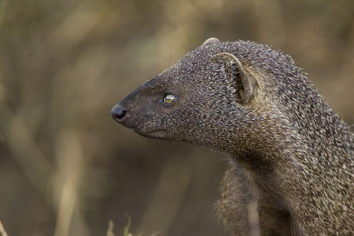 Herpestes ichneumon, Quênia