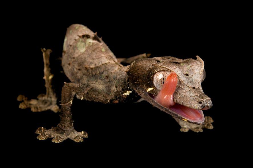 Osga-Satânica-Cauda-De-Folha, da espécie Uroplatus Phantasticus