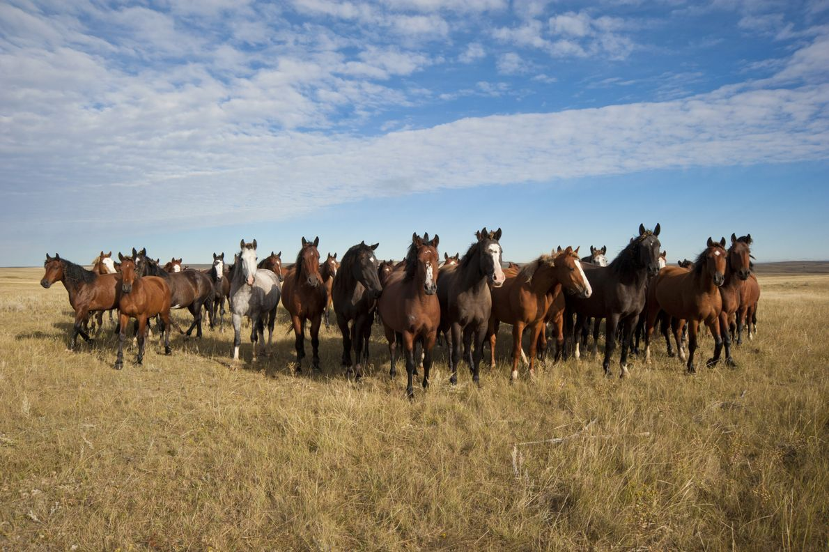 Cavalos na reserva Fort Peck.