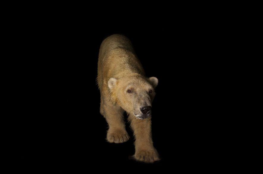 Urso Polar, nome científico Ursus maritimus