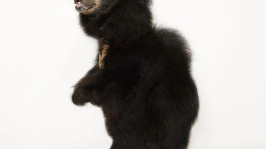 O Urso-Preguiça em Fotos