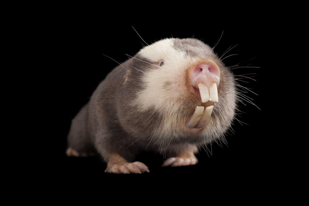 Rato-toupeira-damara