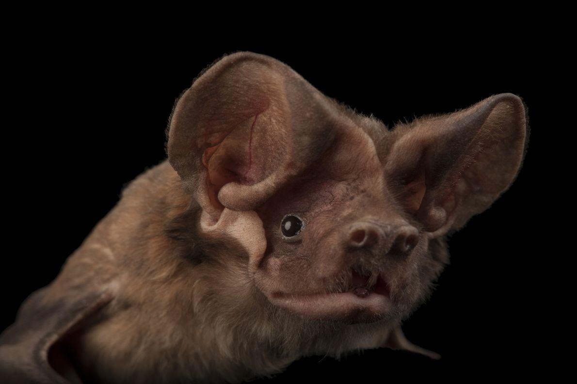Morcego Eumops floridanus