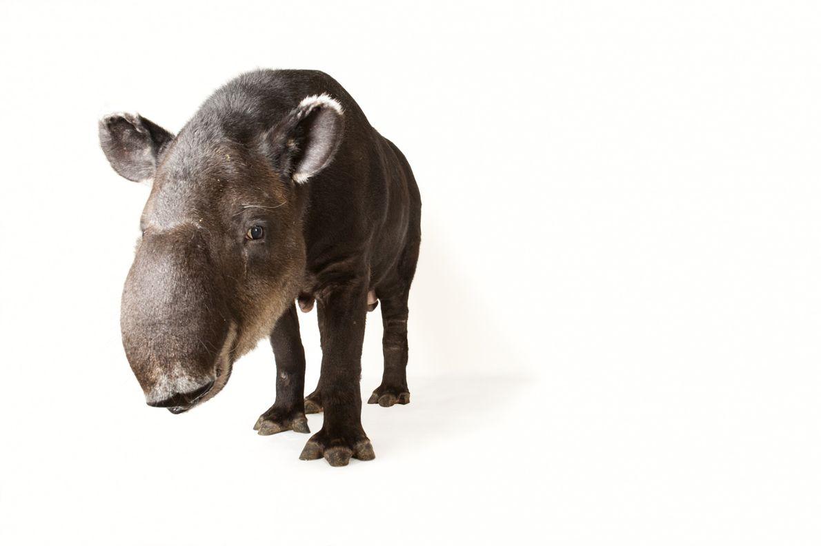 Tapir-de-baird