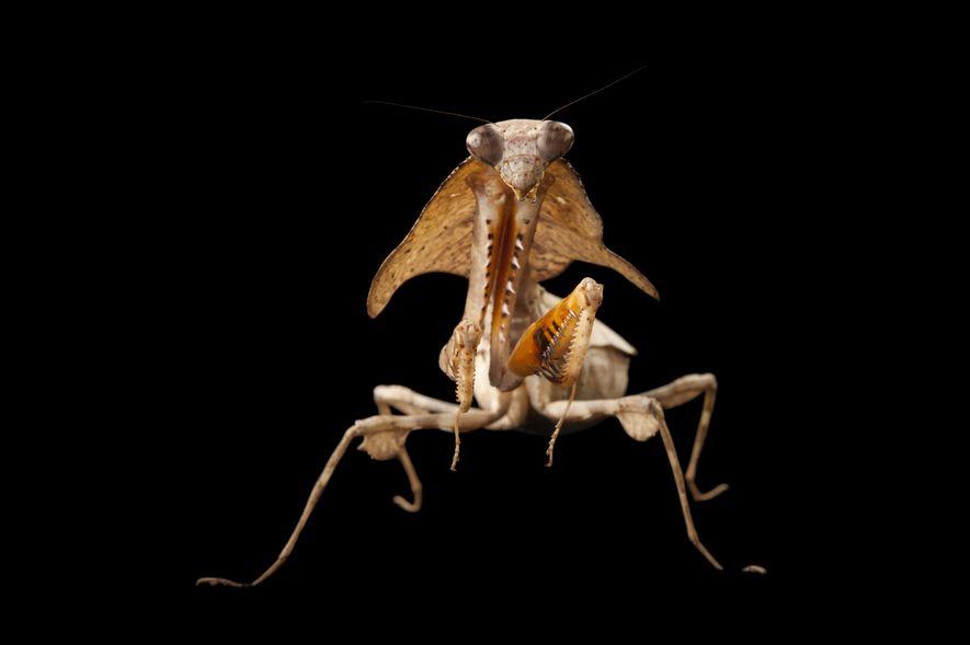 Deroplatys lobata designada de Bicho-de-Folha-Seca da Malásia
