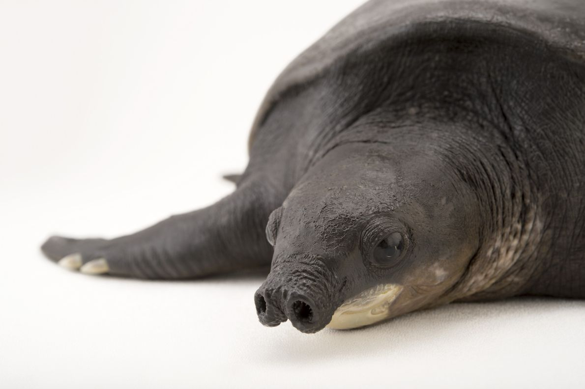 Tartaruga-nariz-de-porco