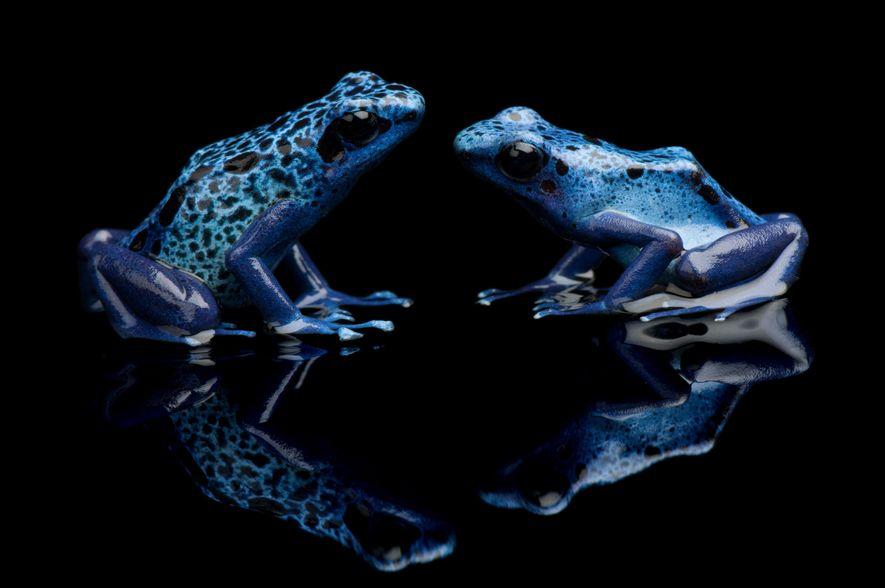 Dendrobates azureus é o nome científico do Sapo-Boi-Azul.
