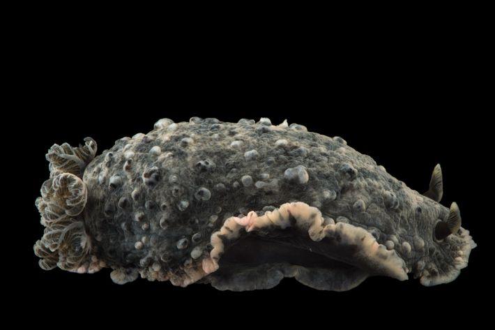 Dendro wartii é uma espécie de nudibrânquio.